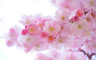 Japonia si florile de cires
