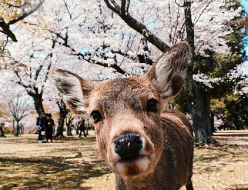 Nara sau în căutarea lui Bambi 😊